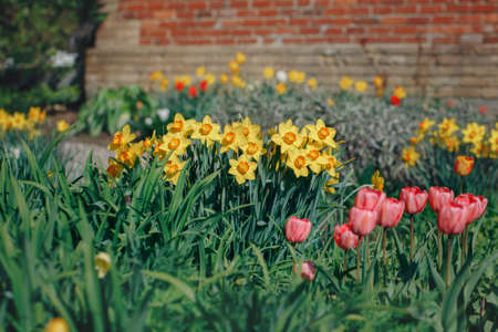 Beautiful fairy dreamy red tulips and yellow narcissus flowers with dark green leaves in flowerbed near country rural house, retro vintage style, soft selective focus, copyspace for text