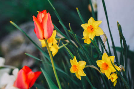Beautiful fairy dreamy magic red tulips and yellow narcissus flowers with dark green leaves, retro vintage style, soft selective focus, blurry background, copyspace for text Foto de archivo