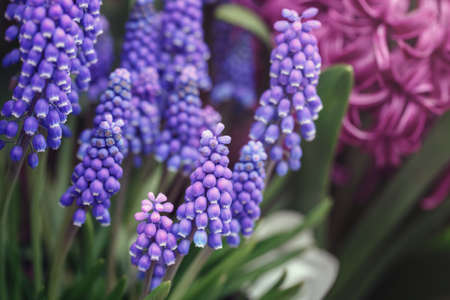 Beautiful fairy dreamy magic red blue purple violet hyacinthus Muscari flowers with green leaves, retro vintage style, blurry background, copyspace for text, faded pastel colors