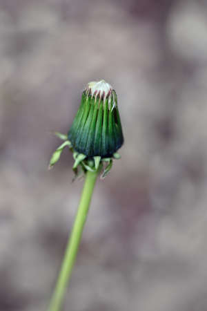 Closeup macro shot of green and yellow dandelion unblown bud, outside on blurry  background