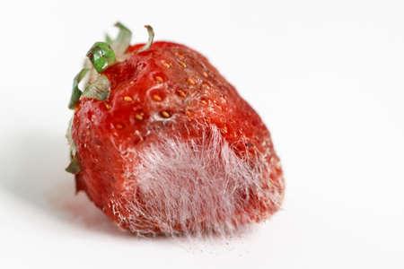 Closeup macro shot image of rotten strawberry with large mold isolated on white background.