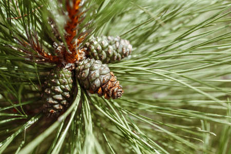 Macro closeup of green pine tree branches with long needles and pine-cones in forest wood. Toned with retro vintage film filters. Imagens