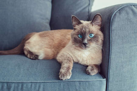 Beautiful colorpoint blue-eyed cat lying on couch sofa looking in camera. Fluffy hairy domestic pet with blue eyes relaxing indoors at home. Cross-eyed adorable furry animal