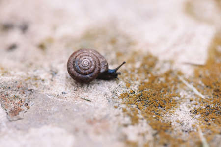 One small dark brown snail with antennas crawling on stone rock with yellow moss. Macro of wildlife nature.
