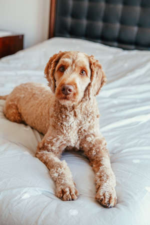 Cute adorable shameless red-haired pet dog lying on clean bed in bedroom at home. Bold domestic animal poodle goldenhoodle terrier sitting on bedroom furniture. Stock fotó