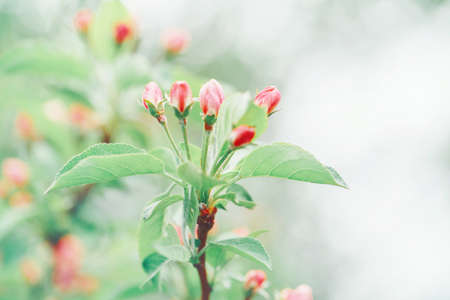 Beautiful macro of pink red small wild apple cherry buds on tree branches with light green leaves. Pale faded pastel tones. Amazing spring nature. Natural floral background with copyspace. 写真素材