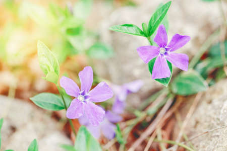Beautiful macro of purple wild violet flowers with green leaves. Toned with retro vintage filters. Pale light faded pastel tones. Artistic amazing spring nature. Natural floral background. 写真素材