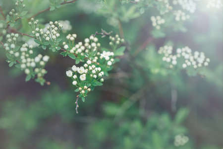 Beautiful macro of white small wild apple flowers and buds on tree branches. Pale light faded pastel tones. Artistic amazing spring nature. Natural floral background with copyspace 写真素材