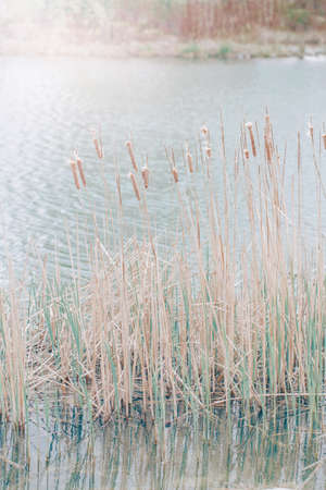 Beautiful long wild bulrush wetland grass-like plant in lake river water. Pale light faded pastel tones. Artistic amazing spring summer nature. Natural background with copyspace Stock Photo
