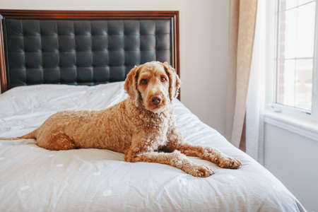 Cute adorable shameless curious red-haired pet dog lying on clean bed in bedroom at home. Bold domestic animal poodle goldenhoodle terrier sitting on bedroom furniture.