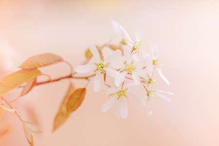 Beautiful macro of white small wild flowers on tree bush branches against red pink background. Pale light faded pastel tones. Amazing spring nature. Natural floral background copyspace.