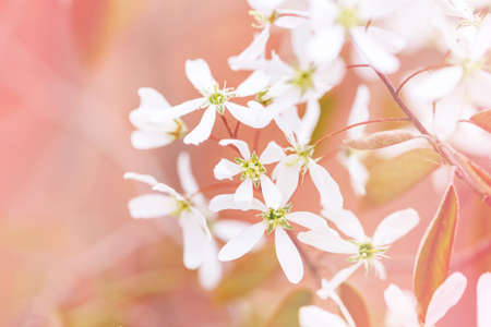 Bella macro di piccoli fiori selvaggi bianchi sui rami del cespuglio di albero contro il fondo rosa rosso. Tonalità pastello sbiadite chiare pallide. Incredibile natura primaverile. Copyspace floreale naturale del fondo.