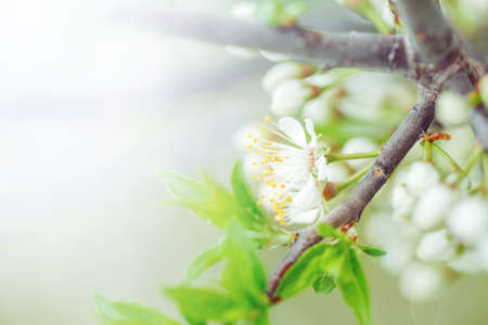 Beautiful macro of white small wild apple flowers and buds on tree branches with green leaves. Pale light faded pastel tones. Amazing spring nature. Natural floral background copyspace.
