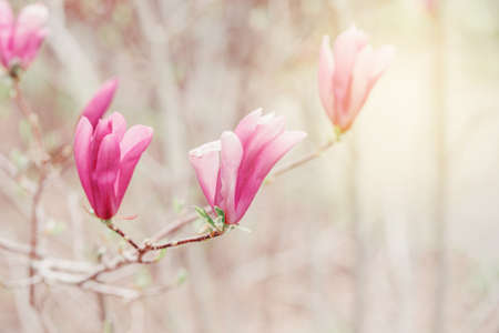 Beautiful macro of purple pink magnolia flowers on tree branches. Sun light from above. Pale light faded pastel tones. Artistic amazing spring nature. Natural floral background with copyspace