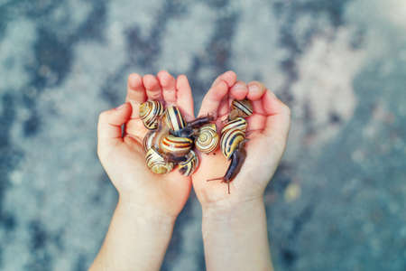 Closeup macro of child hands palms holding many little small forest garden yellow striped snails molluscs. Summer kids  entertainment activity. Happy childhood lifestyle.