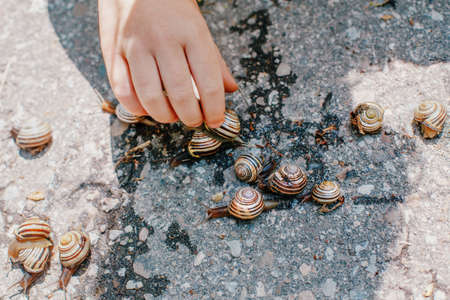 Closeup macro of child hands palms picking holding many little small forest garden yellow striped snails molluscs. Summer kids  entertainment activity. Happy childhood lifestyle.