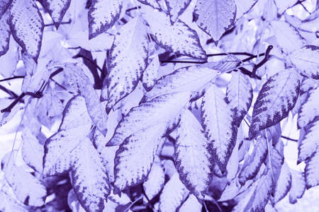 Closeup macro of beechwood ashtree ultra violet purple tree leaves toned with trendy color. Abstract natural textured violet background. Hipster style texture wallpaper.