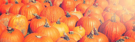 Closeup of fresh autumn fall harvest at farm. Heap of many yellow orange fresh ripe pumpkins. Halloween and Thanksgiving concept. Header web banner for website.