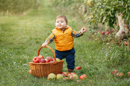 Happy child on farm picking apples in orchard. Portrait of cute adorable funny little baby boy in yellow clothes with wicker basket. Kid gathering autumn fall harvest. Seasonal activity hobby. Standard-Bild