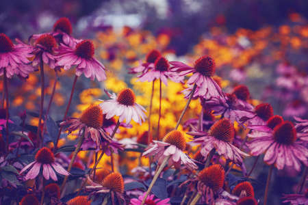 Beautiful pink purple violet echinacea purpurea, eastern purple hedgehog coneflower flowers on faded blurry background. Dark art moody floral. Toned with filters in retro vintage style. Фото со стока