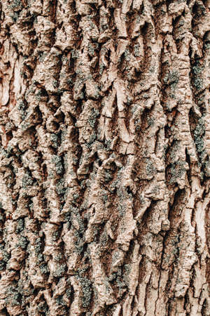 Closeup macro detail of old aged beautiful oak maple tree bark barque. Natural wooden textured abstract tree background unusual pattern shape with cracks, checks, holes and curvy lines.