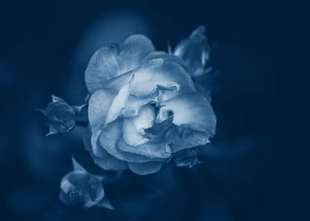 Beautiful fairy dreamy magic rose flower on faded blurry background. Natural eco backdrop wallpaper nature with copyspace. Toned with classic blue 2020 color. Reklamní fotografie