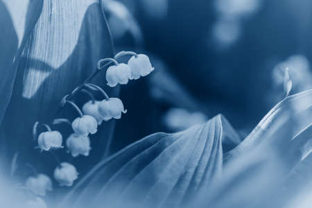 Beautiful blooming lily of the valley fairy dreamy magic flowers. Natural eco background wallpaper nature with copyspace. May spring flowers. Toned with classic blue 2020 color.