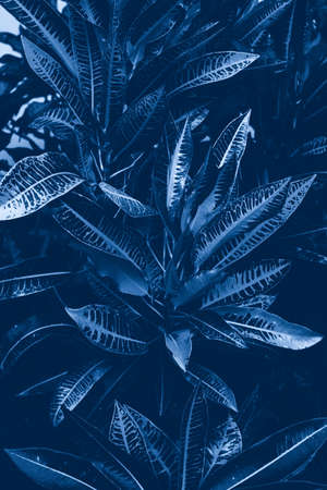 Closeup shot of beautiful croton flower plant with large leaves. Natural beauty pattern eco texture background. Toned with classic blue 2020 color.