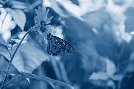 Closeup macro of beautiful amazing monarch butterfly sitting on blooming flower in garden park outside. Toned with classic blue 2020 color. Natural eco animal environmental background texture.