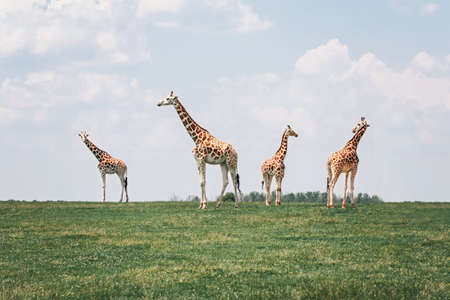 Four tall giraffes standing together in savanna park on summer day. Big exotic African animals walking on meadow looking watching around. Beauty in nature. Wild species in natural habitat.