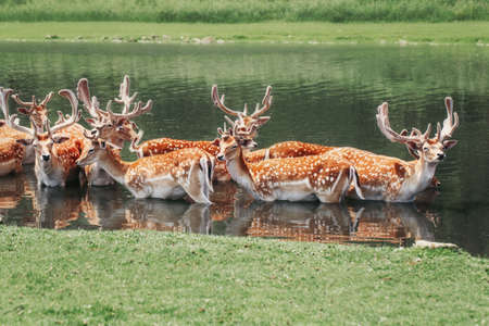 Large group of fallow deer resting in pond water on summer. Herd animals dama dama swim chill in river on hot day. Wildlife beauty in nature.