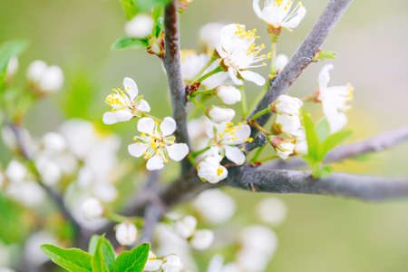 Beautiful macro of white small wild apple flowers and buds on tree branches with green leaves. Pale light faded pastel tones. Amazing spring nature. Natural floral background copyspace. Standard-Bild - 142574287