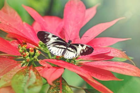 Closeup macro of Heliconius melpomene Piano Key butterfly. Wild insect animal with black white spots sitting on red poinsettia flower plant. Common postman butterfly species in natural habitat. Standard-Bild - 141798174