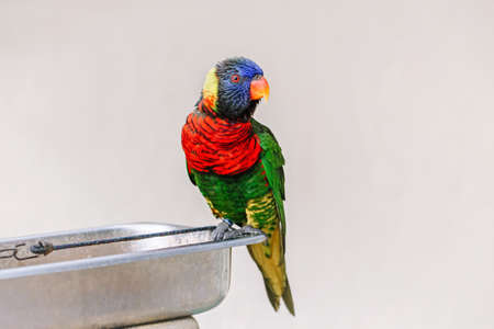 One lorikeet parrot feeding from bowl in zoo and looking in camera. Beautiful wild tropical animal bird eating nectar. Beauty of wildlife nature. Standard-Bild - 142574303