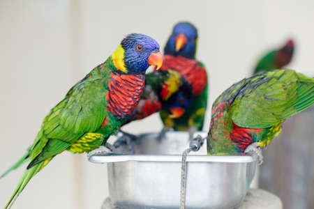 Group of many few lorikeet parrots feeding from bowl in zoo. Beautiful wild tropical animals birds eating nectar. Beauty of wildlife nature. Standard-Bild - 142574384