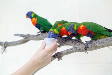 Person zoo worker feeding lorikeet parrots. Beautiful wild tropical animals birds sitting on tree branch and eating nectar. Beauty of wildlife nature. Standard-Bild - 142574385