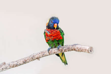 One colorful little lorikeet parrot sitting on tree branch and looking in camera. Beautiful wild tropical animal bird. Beauty of wildlife nature.