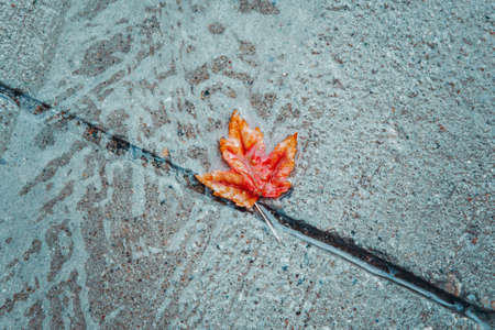 Beautiful old withered red yellow autumn maple leaf in puddle on ground under rain. Fall weather season. Concept of death, despair and sad melancholic feelings. Leaf in water on street path.