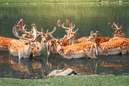 Large group of fallow deer resting in pond water on summer. Herd animals dama dama swim chill in river on hot day. Wildlife beauty in nature.  Banco de Imagens