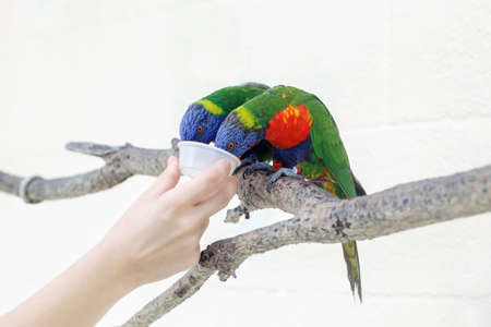 Person zoo worker feeding lorikeet parrots. Beautiful wild tropical animals birds sitting on tree branch and eating nectar. Beauty of wildlife nature. Volunteering for animal shelter.