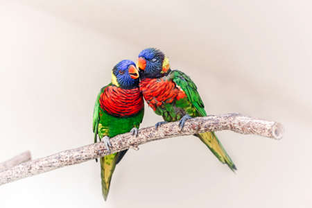 Group couple of two cute colorful little lorikeet parrots kissing. Beautiful wild tropical animals birds sitting on tree branch. Beauty of wildlife nature.