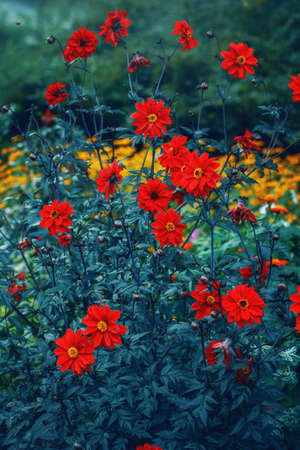 Beautiful red dahlia flowers on blue green background. Dark art moody floral.  Beauty in nature. Natural floral ecological wallpaper backdrop. Beautiful garden orchard with red flowers.