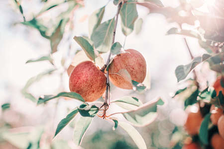 Beautiful ripe red apples on branches in orchard garden. Organic sweet fruits hanging on apple trees at farm. Eco natural background. Sunny summer or autumn fall day in countryside.
