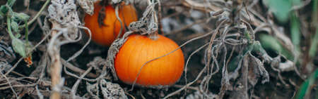 Autumn fall harvest. Small red pumpkins growing on farm. Ripe pumpkins lying on ground outdoor. Natural eco background. Halloween Thanksgiving holiday. Web banner header. Banco de Imagens