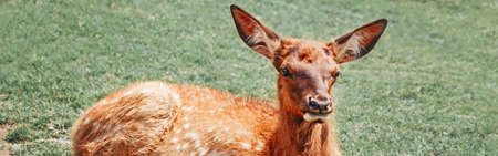 Cute young fallow deer calf fawn lying on grass ground at summer day outdoor. Herd animal baby dama dama resting on hot day. Wildlife beauty in nature.  Web banner header. Banco de Imagens