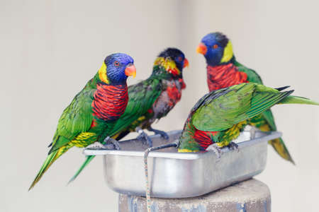 Group flock of many few lorikeet parrots feeding from bowl in zoo. Beautiful wild tropical animals birds eating nectar. Beauty of wildlife nature. Banco de Imagens