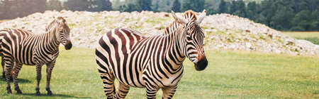 Herd of plains zebra together in savanna park. Exotic African black-and-white striped animals walking in prairie. Beauty in nature. Wild species in natural habitat. Web banner header.