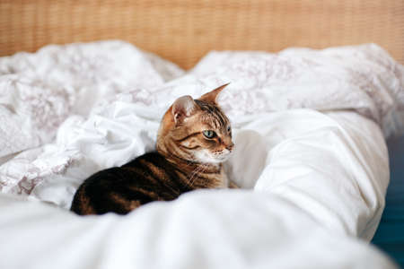 Beautiful pet cat lying on bed in bedroom at home. Relaxing fluffy hairy striped domestic animal with green eyes. Adorable furry kitten feline friend.