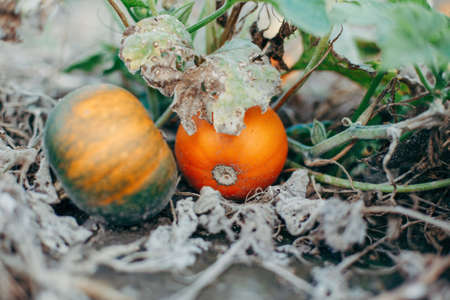 Autumn fall harvest. Cute red and green organic pumpkins growing on farm. Ripe pumpkins lying on ground in garden outdoor. Natural eco background. Halloween Thanksgiving holiday. Banco de Imagens
