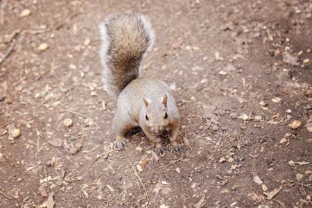 Grey fat squirrel sitting on ground in park outdoor. Animal wild squirrel in forest outside on summer day. Beauty of wildlife nature. Banco de Imagens